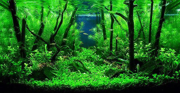 1 Ash Aquarium Driftwood Mounted red slate moss tree java moss ...