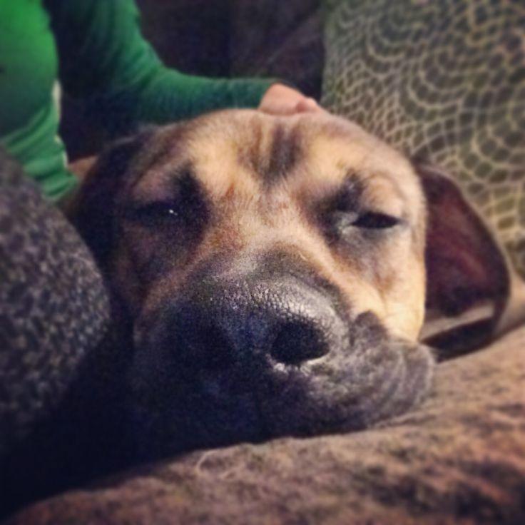 My beagle/boxer mix rescue Pup, Beagle, Labrador retriever