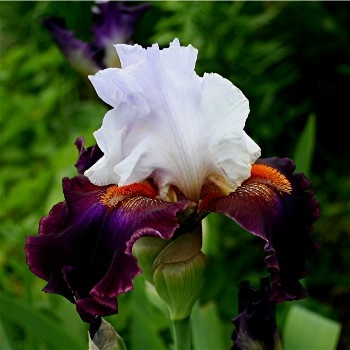 """irises - for the high contrast effect - CONNECTIONS - Tall Bearded - 36"""""""