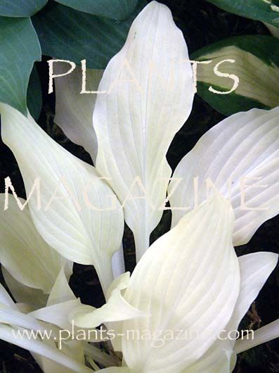 Hosta 'White Feather' - new garden plants rare garden plants perennial garden unusual gardening photographer photography photographs subscription gardener