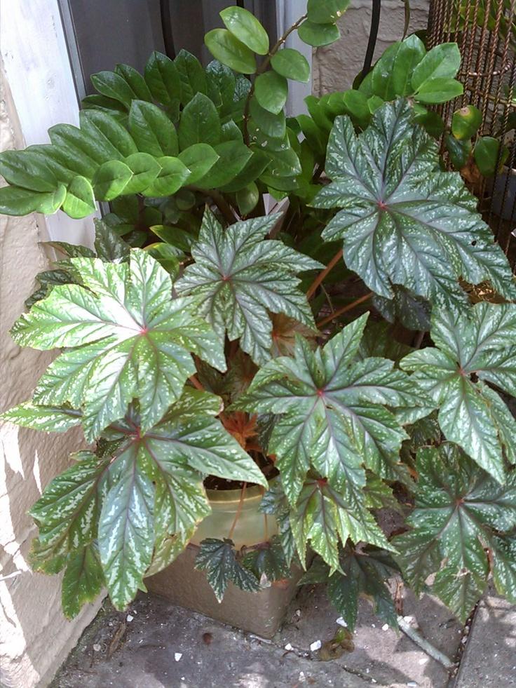 Rex Begonia @ Casa Del Bella: Gardens Plants Tried Have W, Gardens Decks, 9601280 Pixel, Gardens Plantstriedhavew
