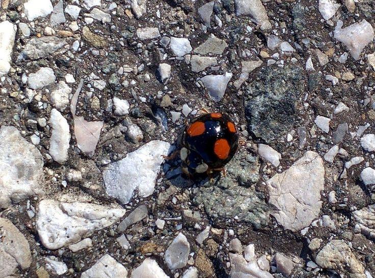https://flic.kr/p/E7Jj8y | Asian Lady Beetle (Harmonia axyridis) | Asian Lady Beetle (Asiatischer Marienkäfer, Harmonia axyridis) also called harlequin ladybird, Halloween lady beetle, etc. 2016-03-09, Bad Ischl, Austria