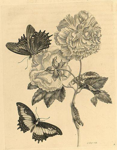 Maria Sybilla Merian, Metamorphosibus Insectorum Surinamensium 1705