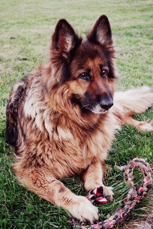 Era, a long-hair German Shepherd.