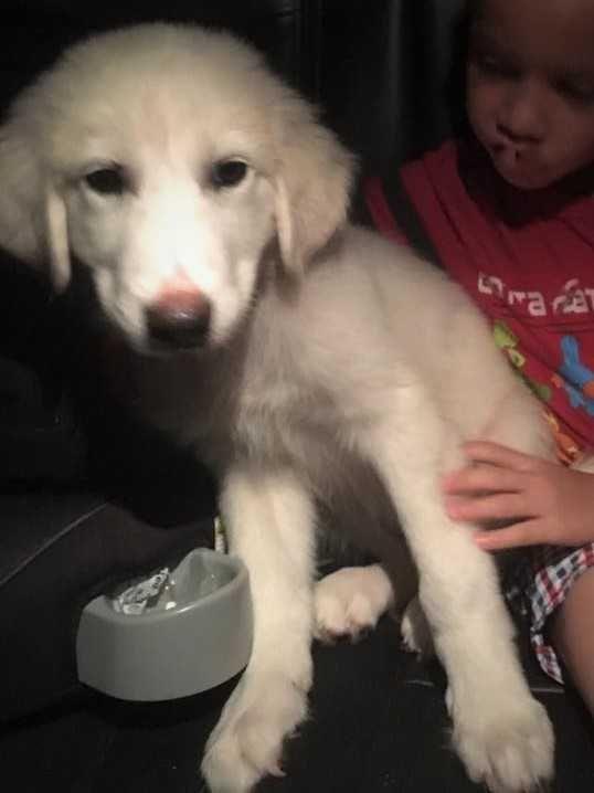 Great Pyrenees dog for Adoption in White River Junction, VT. ADN-598877 on PuppyFinder.com Gender: Female. Age: Baby