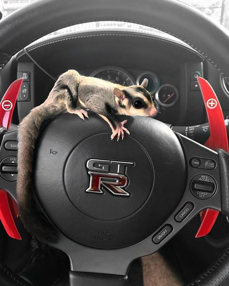 """611 Likes, 12 Comments - Sugar Glider Nation (@sugarglidernation) on Instagram: """"Suggies like to go fast too! #sugarglidersofinstagram #sugarglidernation #sugargliders #suggies"""""""
