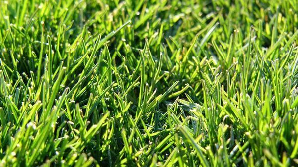 Pin On Grass Seed For Shade