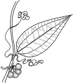 Sarsaparilla (Smilax glyciphylla). We use the sarsaparilla (waraburra to Eora people) for medicine, drinking. It cures internal pains like belly-ache. You boil up the water, put the leaves in it and let it boil. You let the leaves just go cold in it and then you bottle it. People are selling it now for bush medicine and some people have been using it for cancers. Ruth Simms