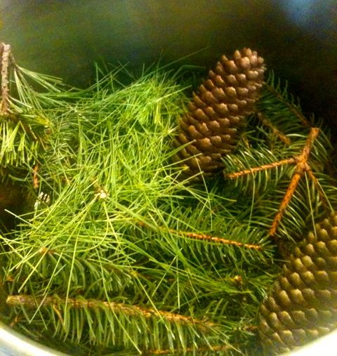 Winter Medicine: Evergreen Syrup: White pine needles, some twig ~2 oz weight (other pine species can be used)    Spruce needles, 2 cones ~2 oz weight (other spruce species can be used)    Filtered water to cover    Honey- half of the amount of decoction that remains (a 1:2 ratio honey:decoction)