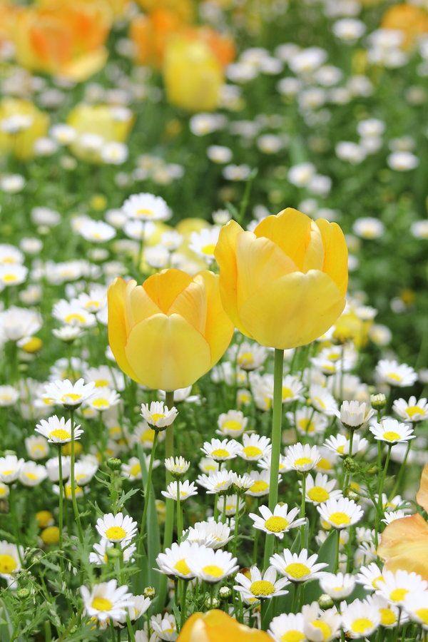 Un printemps éclatant et frais, avec tulipes sur fond de pâquerettes.
