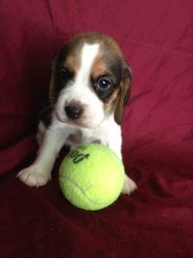 "CKC Mini beagle ""Jane"" female"