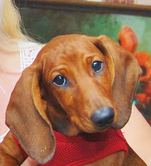 Little standard dachshund pup~Lucy!