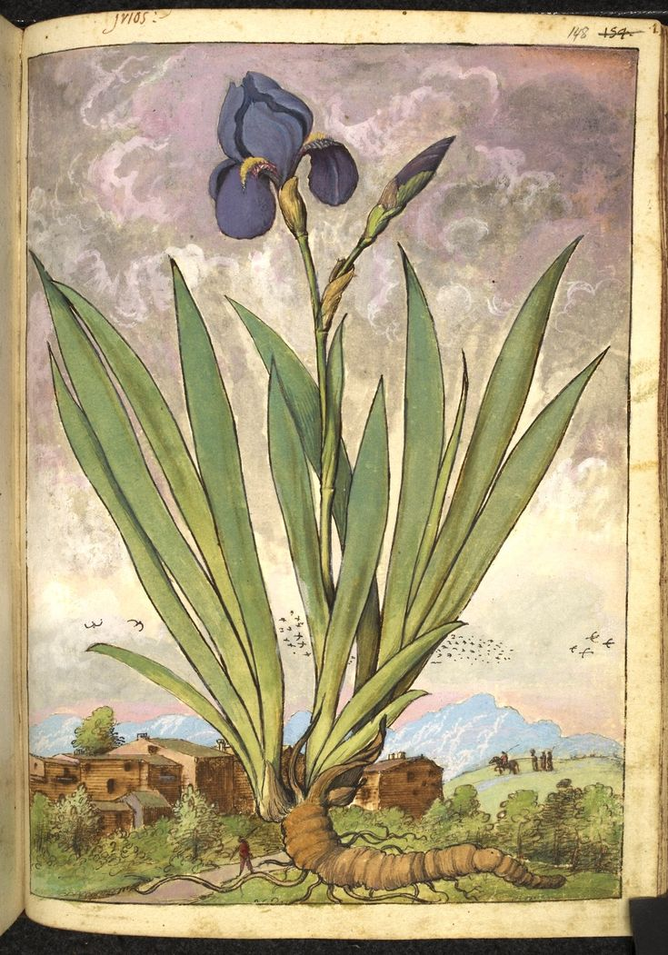 Full page botanical painting of an Iris, labelled 'Irios' with a village and people in the background, one on a horse.   Dioscorides' 'De re medica', by Pietro Andrea Mattioli, Physician of Siena, assembled and illustrated by Gherardo Cibo—ca. 1564-1584.