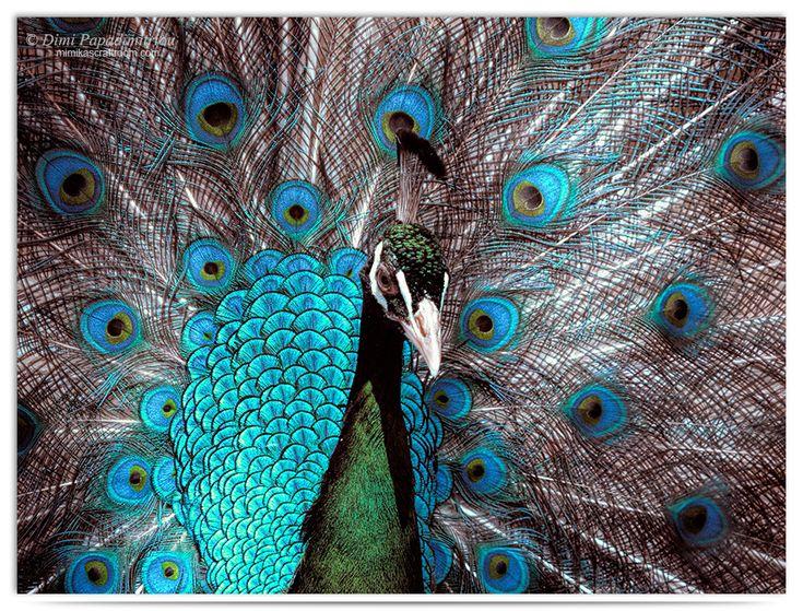 Peacock by LightSculpting.deviantart.com on @DeviantArt