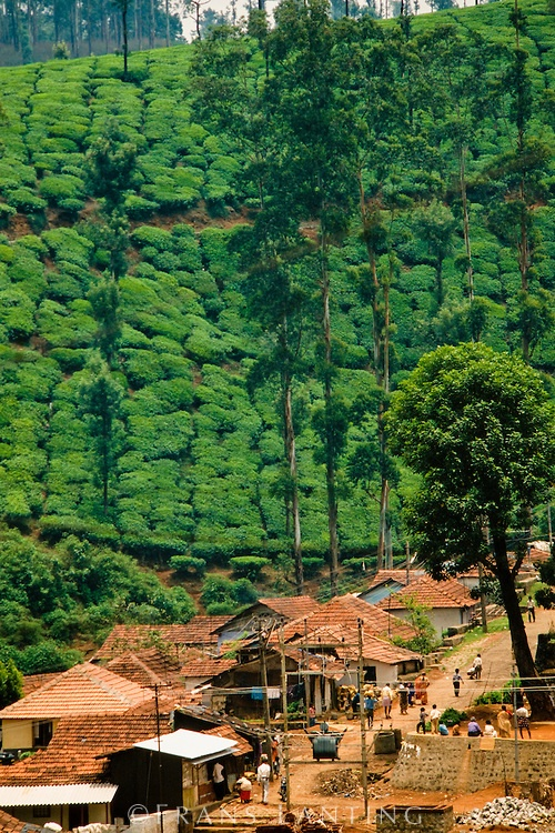 Tea plantation near Eravikulum National Park, Western Ghats, India