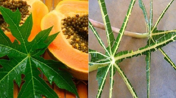Estas 2 receitas com folhas de mamão vão equilibrar o açúcar no seu sangue e…