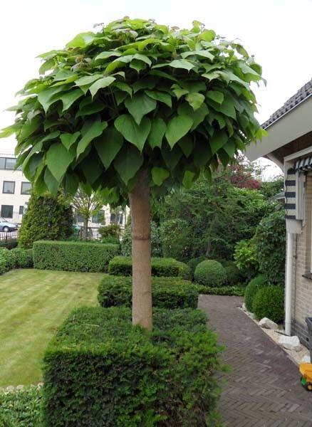 Catalpa bignonioides 'Nana' – Bolvormige trompetboom | J. van de Wiel