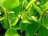 griselinia hedge - Google Search