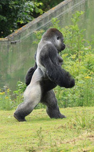 Gorila Silverback, gorila da montanha (Gorilla beringei beringei). O gorila de montanha é o maior primata do mundo. Um gorila de montanha macho pode chegar até 1,9 m de altura. Sua extensão do braço é cerca de 2,3 m e pesa cerca de 220 kg.