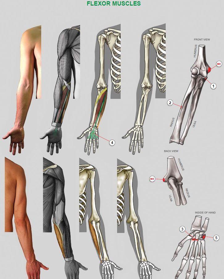 281 besten Estudos E&E Bilder auf Pinterest | Menschliche anatomie ...