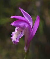 Arethusa (Arethusa bulbosa) flowers