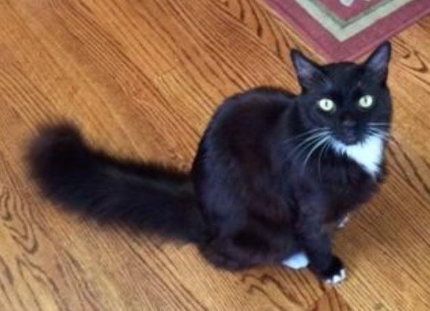 Persian cat rescue san jose