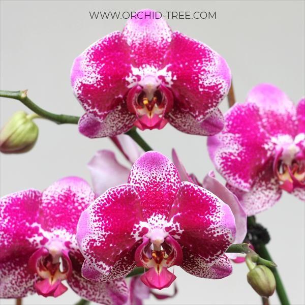 Phalaenopsis Panda Orchid Tree Phalaenopsis Phalaenopsis Orchid