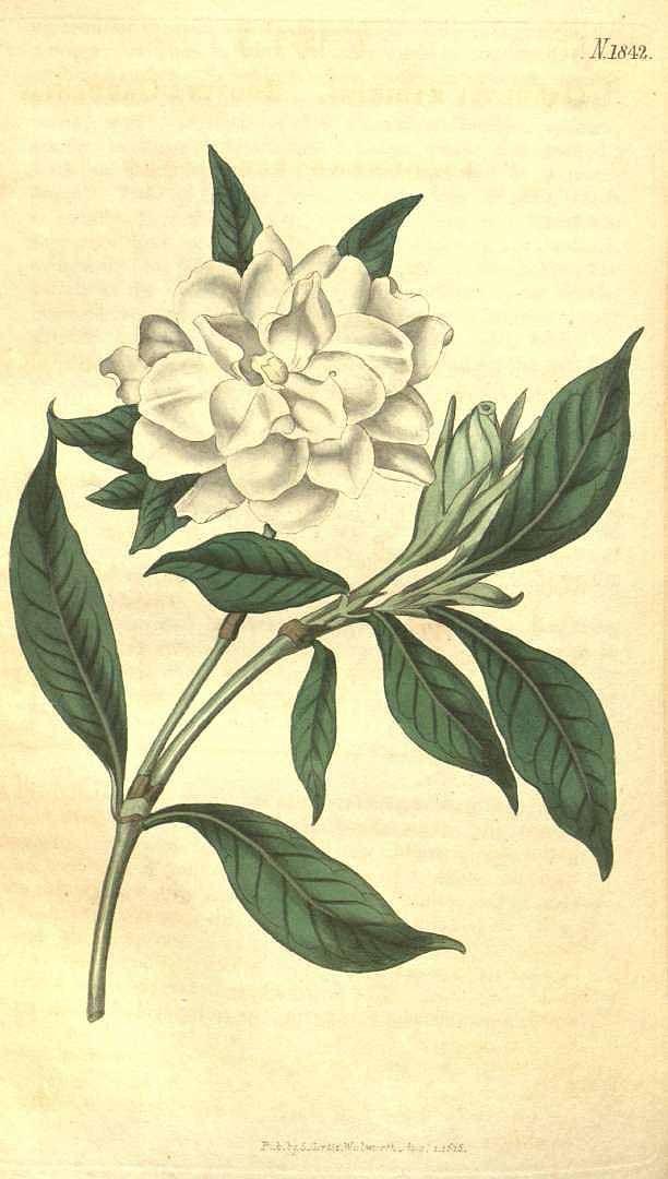 8828 Gardenia jasminoides J.Ellis [as Gardenia radicans Thunb.] / Curtis's Botanical Magazine, vol. 43: t. 1842 (1816) [n.a.]