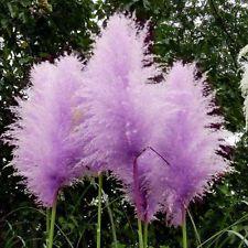 Semi rari viola Pampas Erba ornamentale Cortaderia Selloana solo spedizione sicu