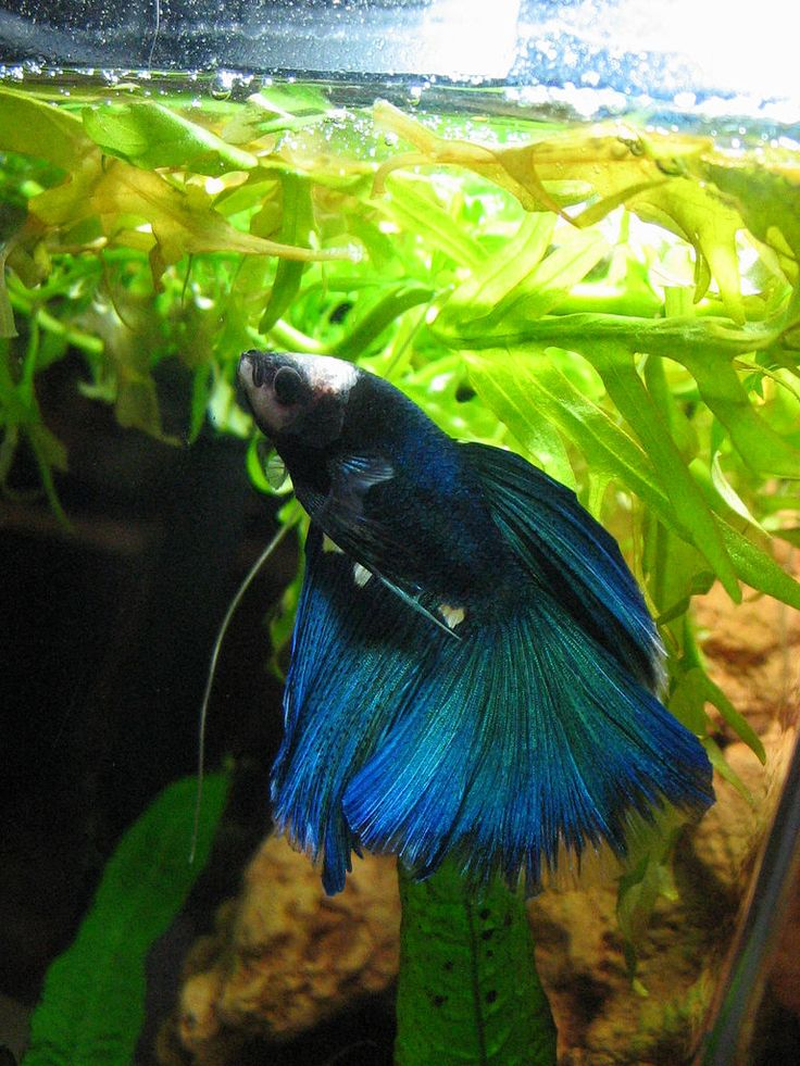17 best images about betta fish on pinterest copper for Betta fish habitat