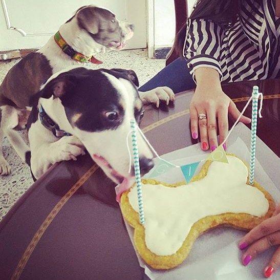 Gio, sentado atrás, cumplió 1 año, y su hermano esperó a que se distrajera para probar la torta de primero!  Nos alegra que hayan pasado felices! Que cumplas muchos más, Gio! ❤️ #PerroFeliz #chachayelgalgo #pasteleriacanina #paletasparaperros #amorperruno #mascotas #peluditos #alimentacioncanina #petfriendlycali #tortasparaperros #cumpleañosperruno #cumpleañosparaperros #YoCreoEnCali #cali #calico #colombia #pit #pitbull #pitbullstanford  @lauraperezp50