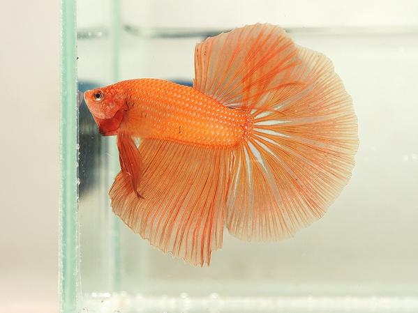 Light orange fancy bettas pinterest auction light for Betta fish light
