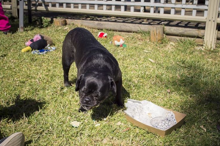 Confessions of a Pug Mum: A Pug Party http://www.thepugdiary.com/confessions-pug-mum-pug-party/