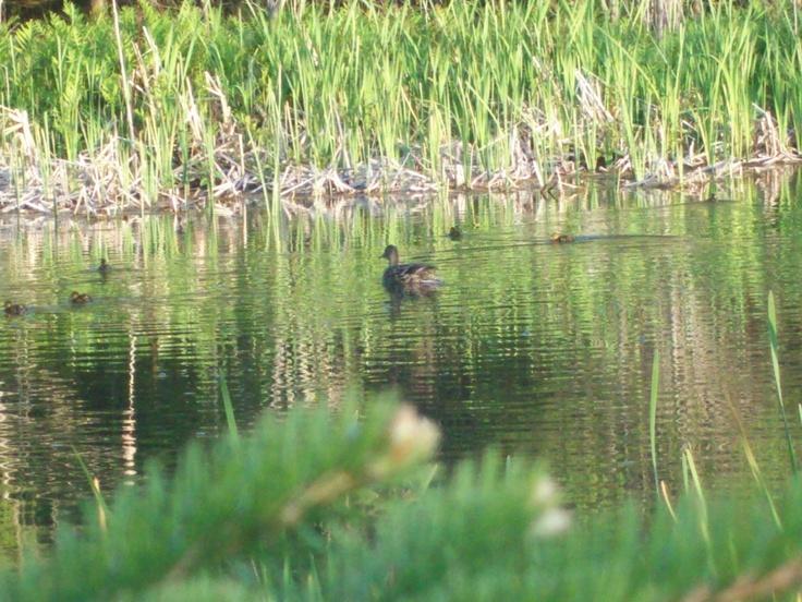 Ducks in my Pond