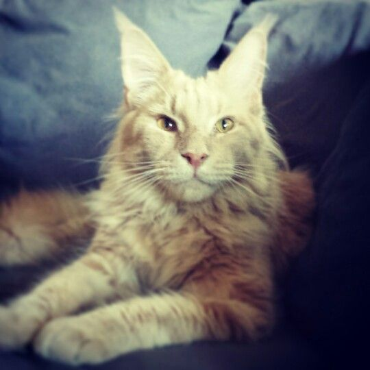 Maine Coon Aslan 1year old