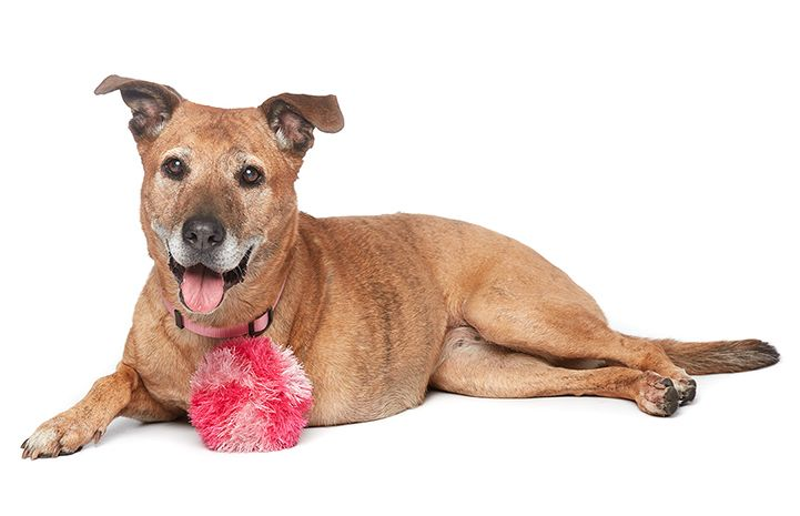 Coco the senior, three-legged Labrador retriever at Best Friends' NKLA Pet Adoption Center