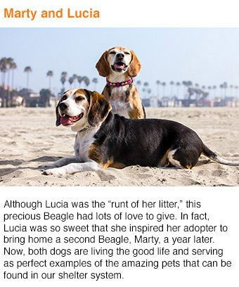 "Although Lucia was the ""runt of her litter,"" this precious Beagle had lots of love to give. In fact, Lucia was so sweet that she inspired her adopter to bring home a second Beagle, Marty, a year later. Now, both dogs are living the good life and serving a"
