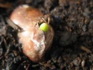 Pesquisa Como plantar bulbos de tulipa. Vistas 183831.