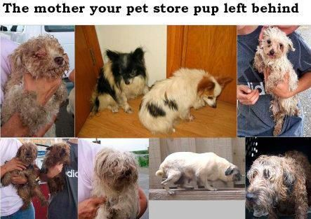 Puppy Mill Moms.. Please Adopt from shelters so that these puppy Moms aren't sentenced to a life of breeding and no love..