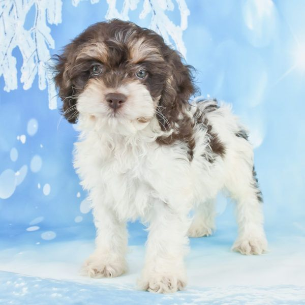 Heyo! I'm Tiger, the adorable black, and white male Cockapoo. I am designer breed between a Cocker Spaniel and mini Poodle. I was born on Aug 30, 2017, my mom weighs 22 lbs and dad weighs 12 lbs. I'm loving, friendly, loyal, pleasing, playful and love to be loved on. I like to go for walks, play at the park, play with toys and just be with you wherever you are. Will come with shots wormed to date. I'm loving, kind, playful and friendly. They are asking $799.00 for me.
