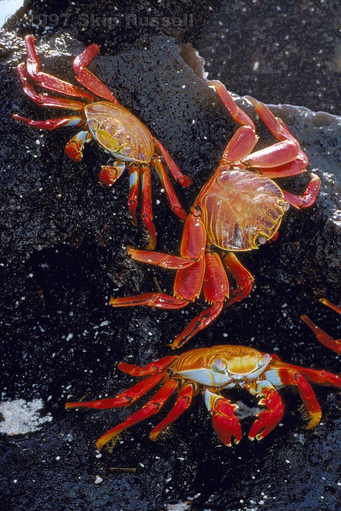 sally lightfoot crabs galapagos ecuador by skuarua more