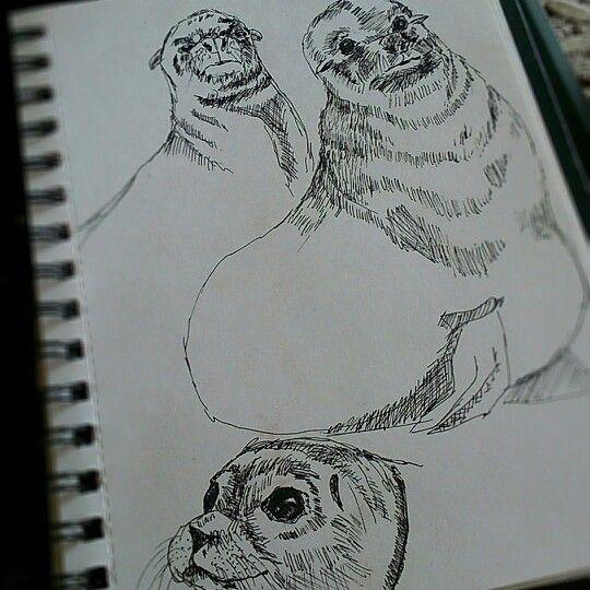 drawing sealion