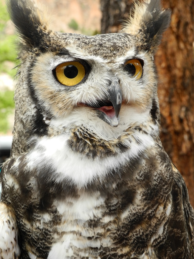 A rescued owl - he loved to pose for pictures.