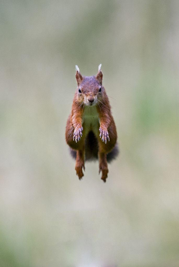 red jump fly squirrel - photo #17