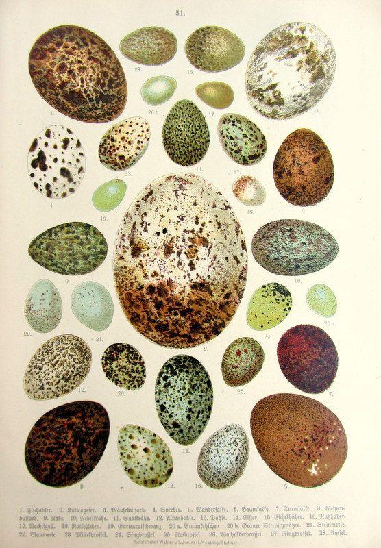 1922 original vintage eggs birds print antique by LyraNebulaPrints, $32.00