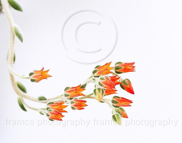 Orange flowes  framcaphotography.com