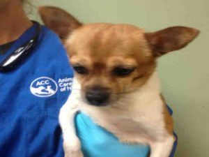 SAFE ♡ BARACK aka PIZZA  – A1108049  MALE, BROWN / WHITE, CHIHUAHUA SH MIX, 8 yrs STRAY – ONHOLDHERE, HOLD FOR ID Reason OWNER DIED Intake condition GERIATRIC Intake Date 04/05/2017, From NY 10456, DueOut Date 04/07/2017, I came in with Group/Litter #K17-093179