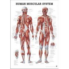 Plansa Anatomica Sistemul Muscular 70 x 100 cm
