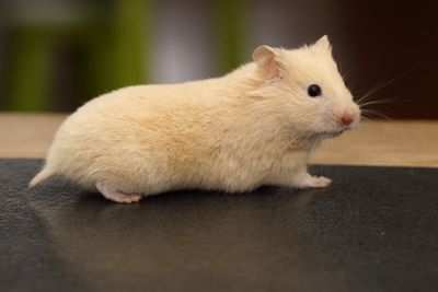 Crème Red eyed Syrian Hamster