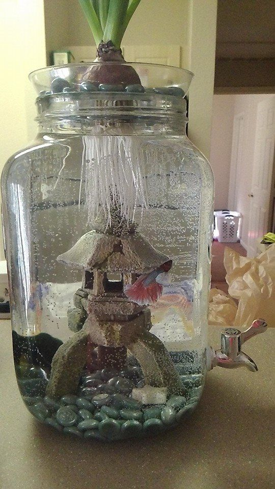 """Turned a Drink Dispenser into a betta fish bowl. Easy cleaning. Complete with a Yellow Mystery Snail, """"Butter,"""" and Marimo Moss Ball, """"Monty,"""" to keep him company and healthy. Keep out of direct sunlight. Used a plastic flower pot saucer with a cut hole for the roots of our Hyacinth plant. Makes the plant easy to remove for feeding. Add a decorative piece for your fish to swim through and around. Our Betta """"Flutter"""" is in love with his new digs. <3 Beautiful and fun for you and your fish!"""